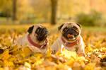 Pug autumn