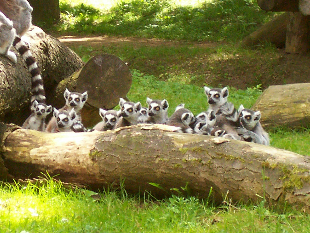 Lemur Katta by Zluvka