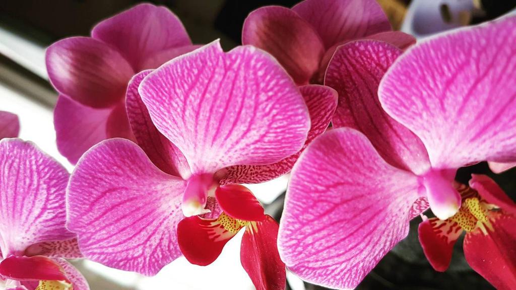 phalaenopsis orchidee by jolina44 on deviantart. Black Bedroom Furniture Sets. Home Design Ideas