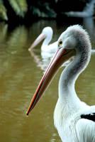 Pelican by BrightArrow