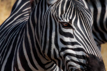 Zebra, Ngorongoro Crater by Mark-Fisher-Photos