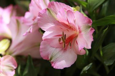 Pink Alstroemeria