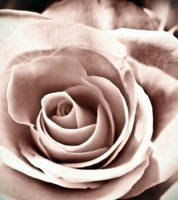 sweet rose of mine by AG-photographya