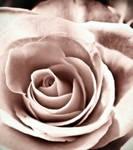sweet rose of mine