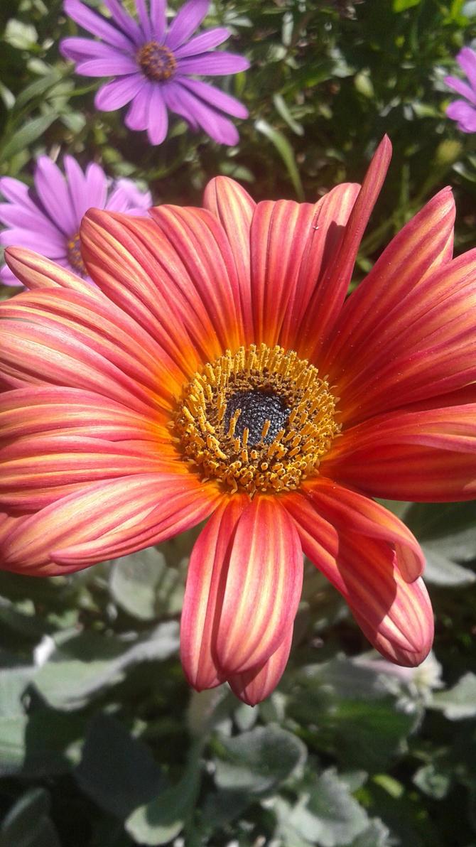 Red Daisy Like Flower By Aileira On Deviantart