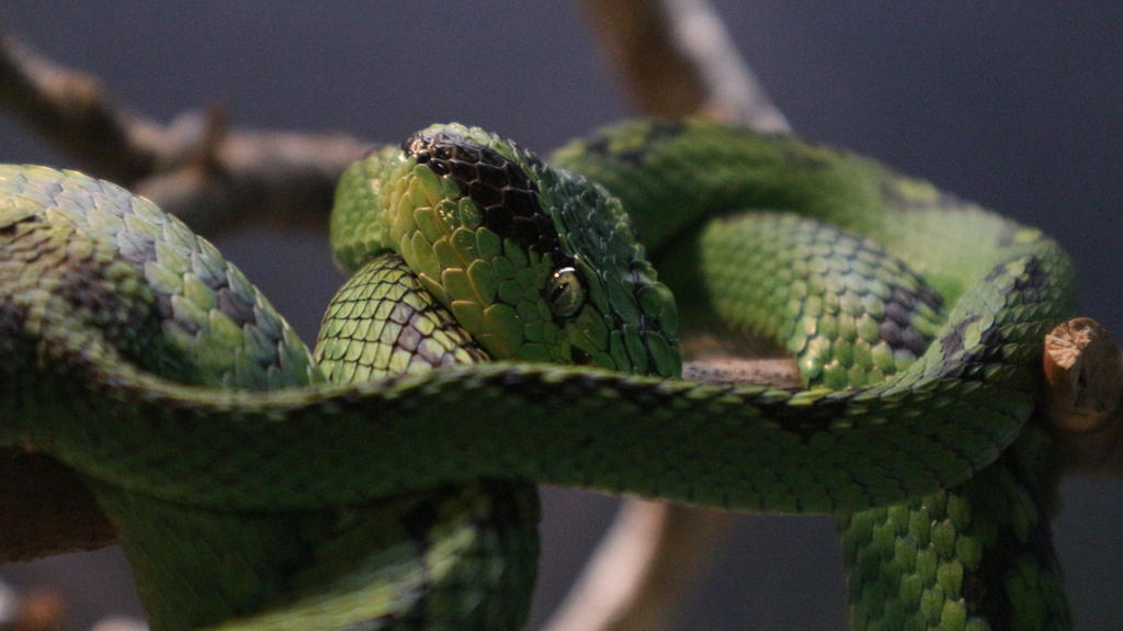 Green Tree Viper by Aileira