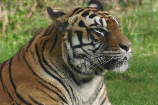 Siberian Tigress Glance