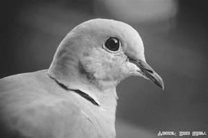 My Collared Dove 6