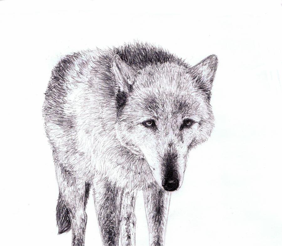 pencil drawn- wolf by ersayer5 on DeviantArt