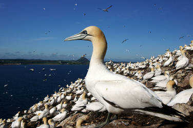 Gannets of the Bass Rock by Katzilla13