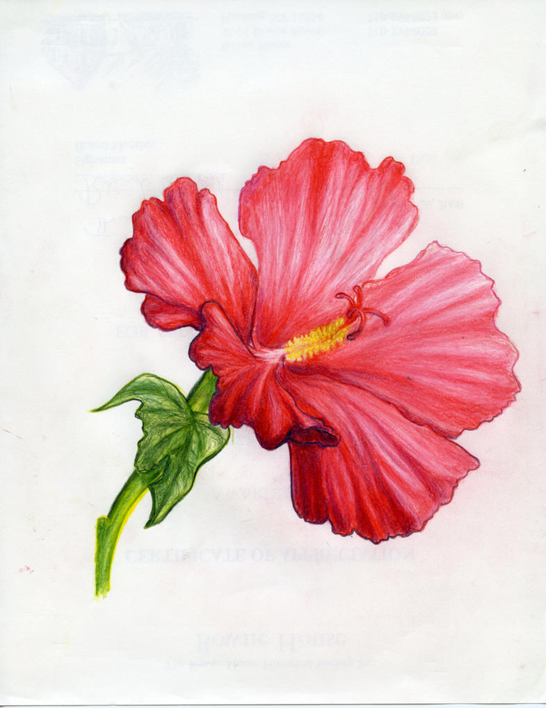 hybiscus...tropical flower by akcuFathoM on DeviantArt