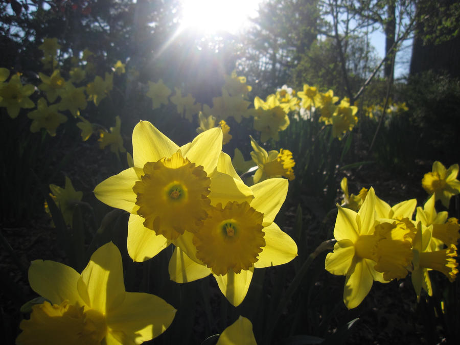 Daffodil Forest by RozenMaidenFan