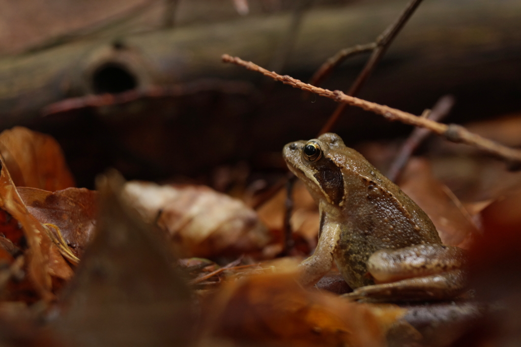 Mr Moor Frog by Rick-TinyWorlds