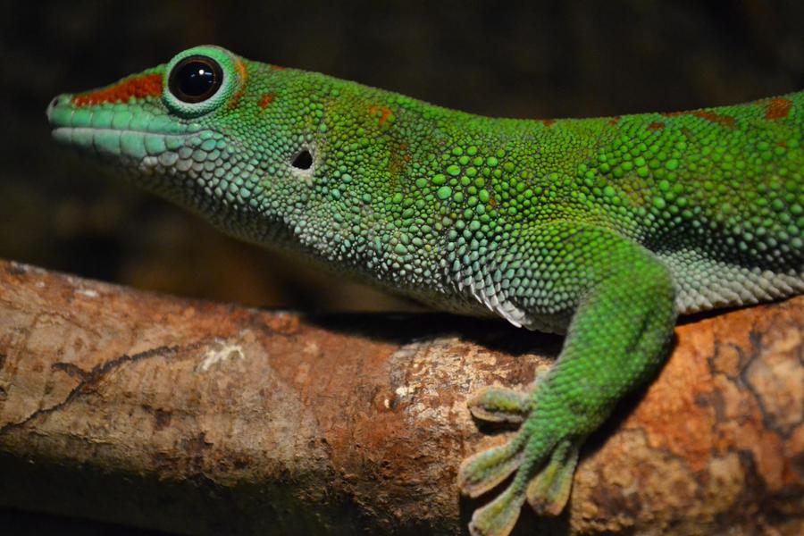 gecko by Jasmijnc