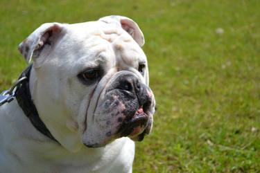 English Bulldog by Jasmijnc