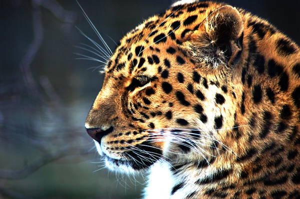 Leopard by SnowFox1