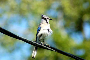 Blue Jay by SnowFox1