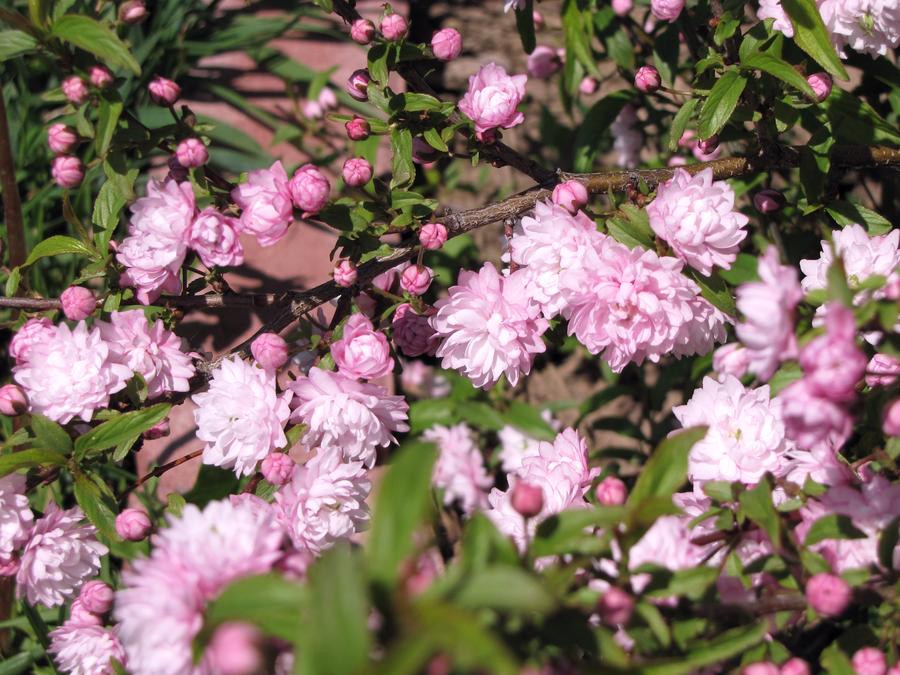 Pink almond bush by katcat89 on deviantart pink almond bush by katcat89 mightylinksfo Images