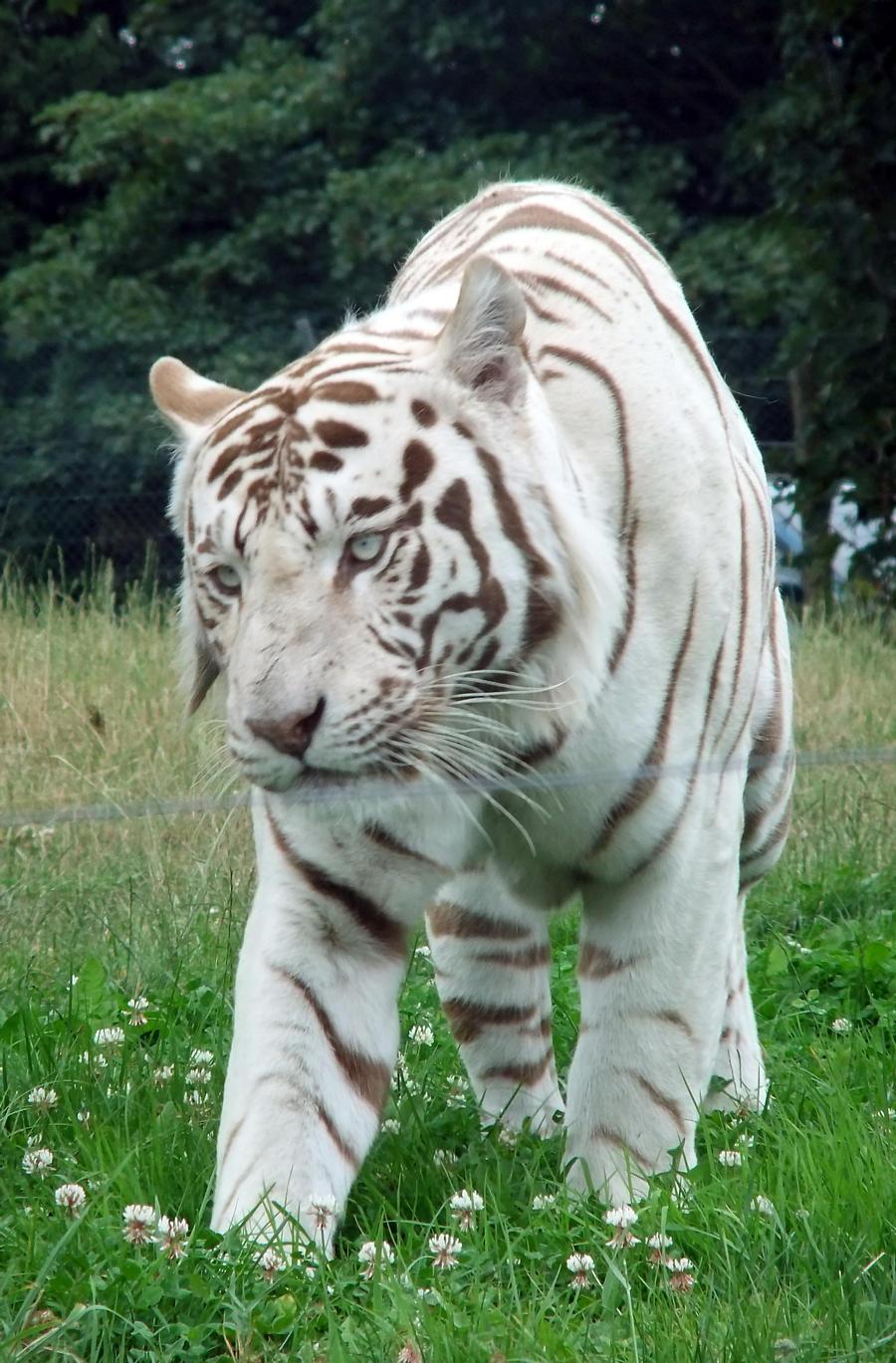 White Bengal Tiger Quotes. QuotesGram