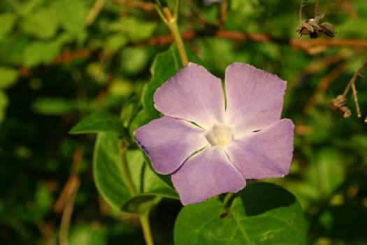 Purple Flower I