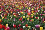 Tulip Field 2