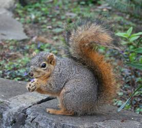Squirrel I by KelbelleStock