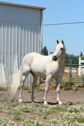 White Horse by KelbelleStock