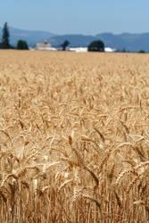 Field of Wheat by KelbelleStock