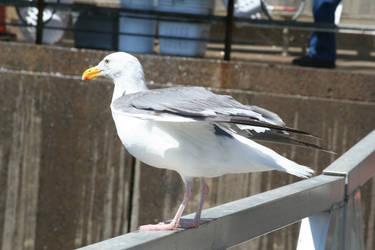 Gull on Fence by KelbelleStock