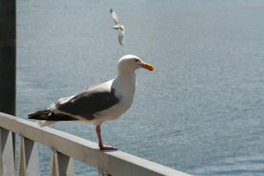 Gull on Fence II by KelbelleStock