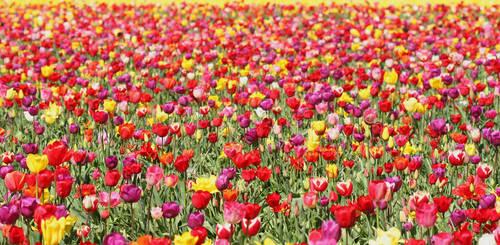 Tulip Field 09