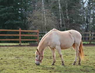 Light Brown Horse by KelbelleStock