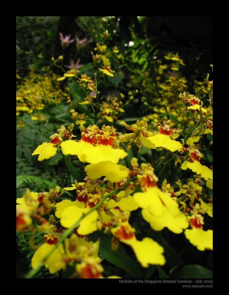 Yellow Orchids by mavart