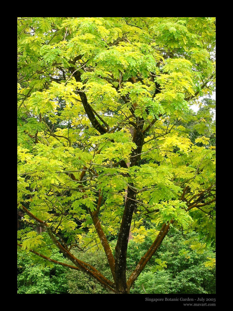 Singapore Tree 01 by mavart