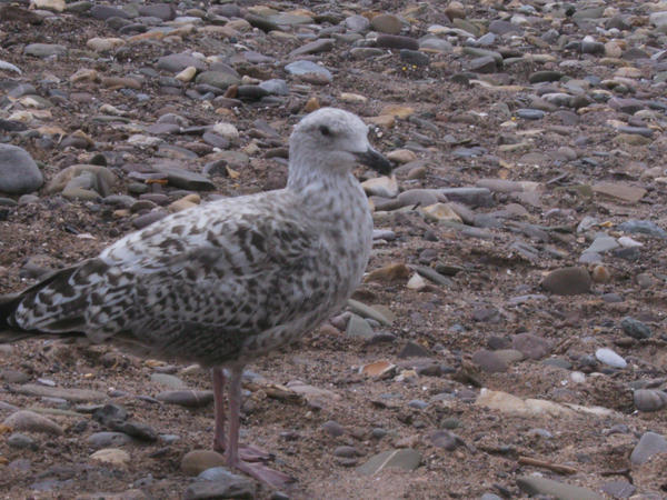baby seagull by silver-sunlight on DeviantArt