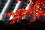 Momiji leafs, Kyoto, Japan