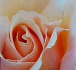 Lovely Rose Heart