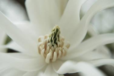 Muted Magnolia