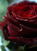 A Wedding Rose by JVarriano