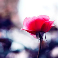 roses are pink by meyrembulucek