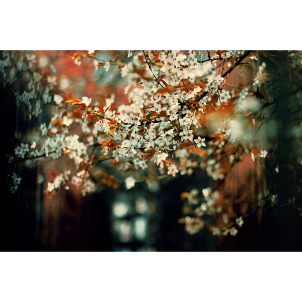 Sakura by meyrembulucek