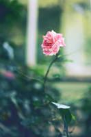 roseroserose by meyrembulucek