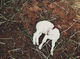 lamb. by meyrembulucek