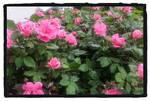 Rose Bush Blooming