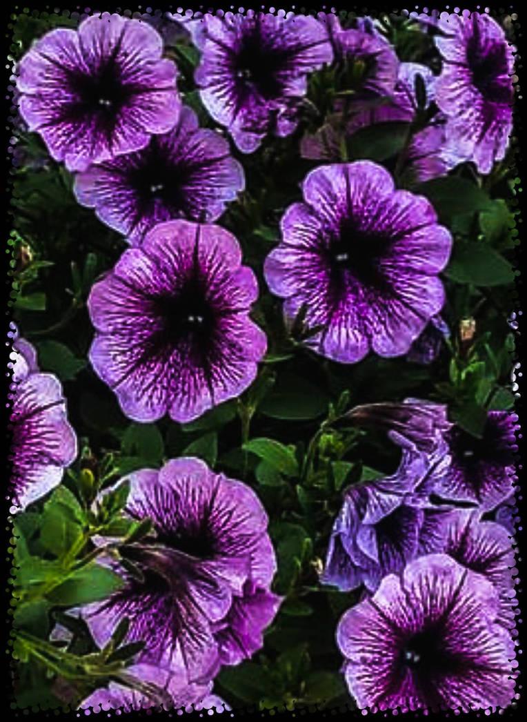 Purple Passions by morningstarskid