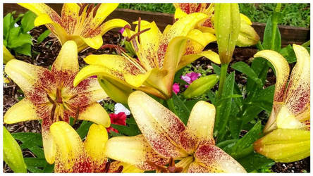 Fresh Lillies Multiple Colors by morningstarskid