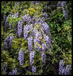 Purple Blossoms by morningstarskid