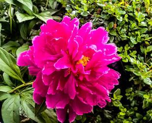 Huge Pink Blossom by morningstarskid