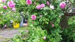 SIMPLEY BEAUTIFUL ROSES