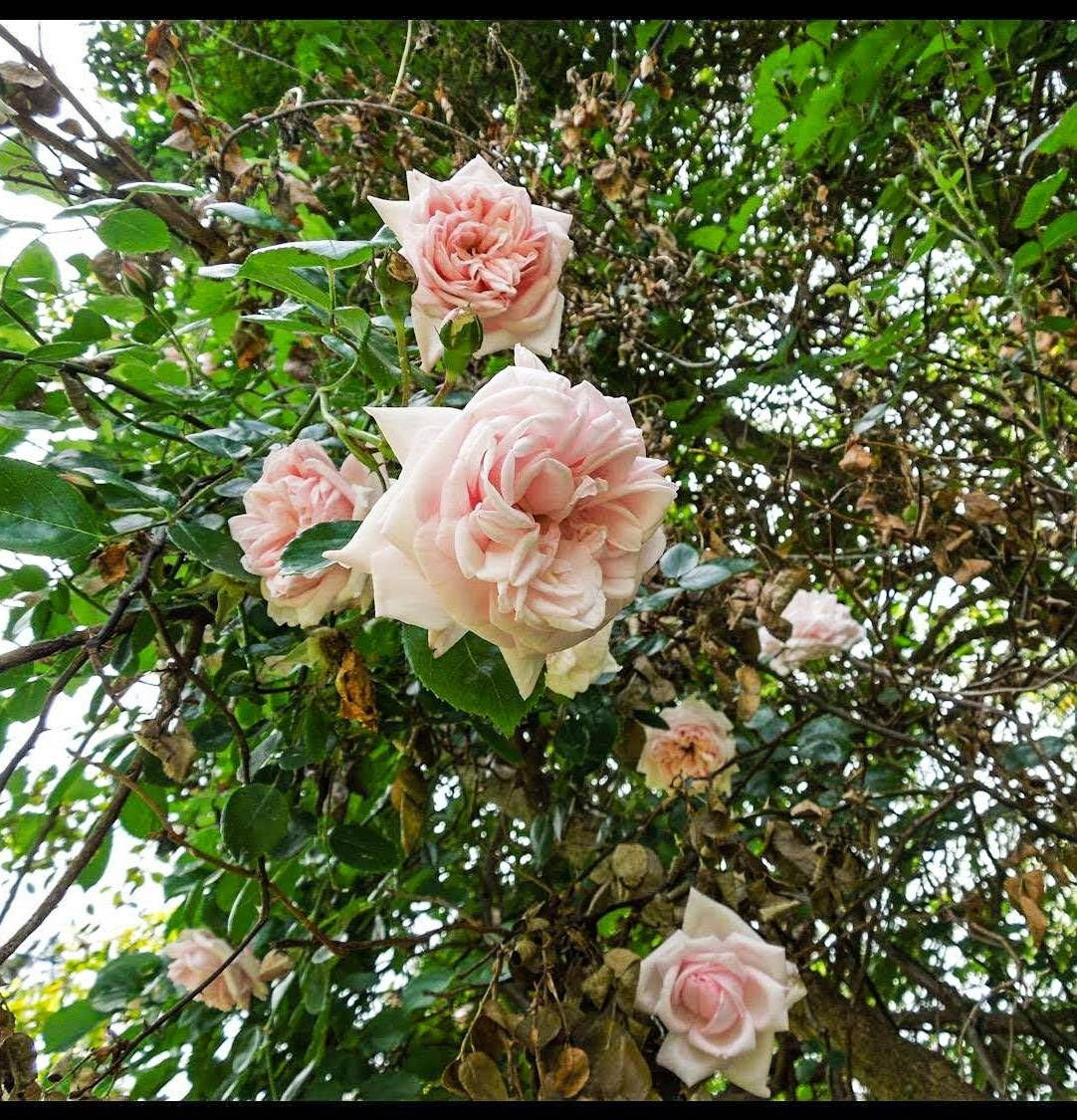 Roses hanging for you